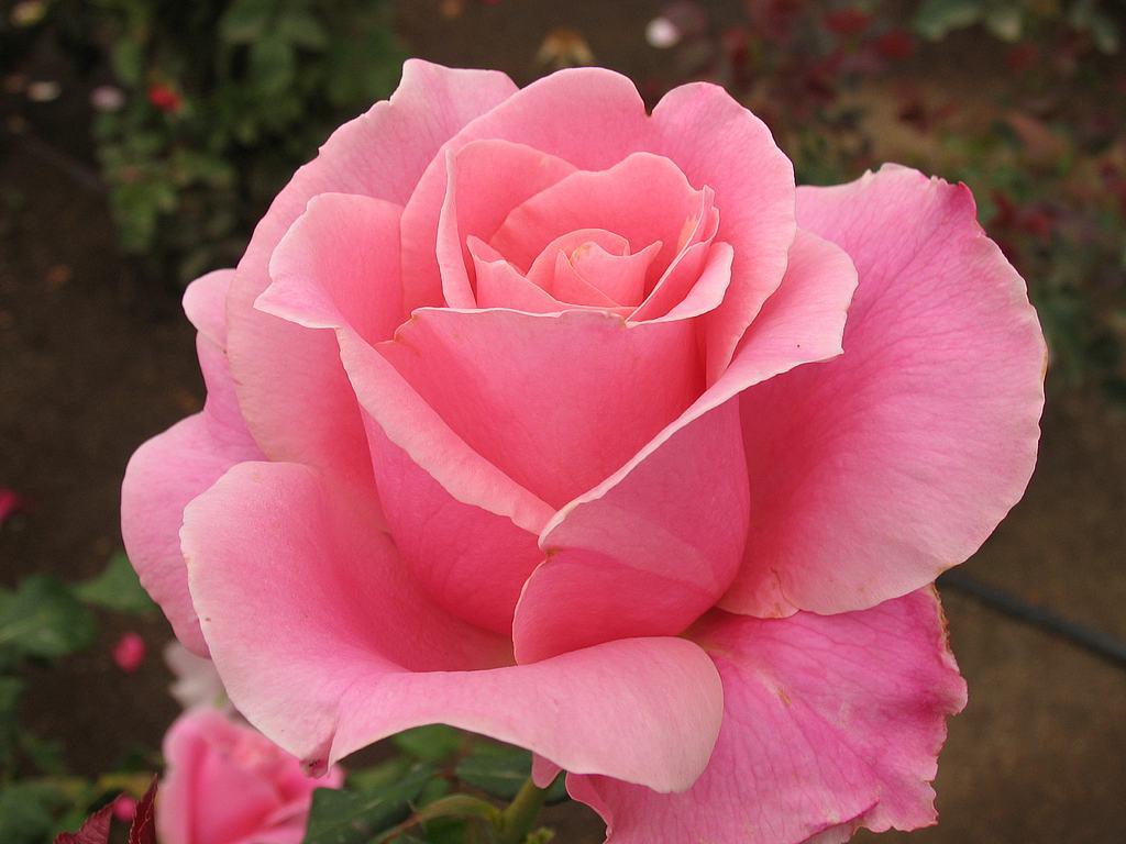 rosa igui ecologia