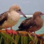Atobás de pés vermelhos (Sula sula), adulto e juvenil