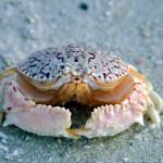 Exemplar de caranguejo dorminhoco (Calapa ocellata)