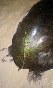 Lesão em tartaruga com possivel associação com embarcação