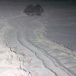 Tartaruga marinha retornando ao mar