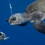 Tartarugas presas no anzol