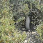 Figura 2. Ninho de Pinguim-de-Magalhães em Punta Tombo/ Argentina