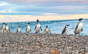 Figura 7. Pinguim-de-Magalhães na Isla Magdalena/ Chile.