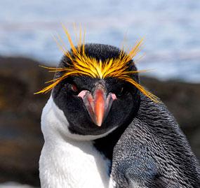 Figura 9. Pinguim-de-testa-amarela.