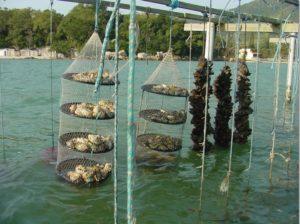 Cultivo de ostras
