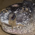 Lagrima na Tartaruga marinha