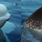 Comparação entra a beluga e o Narval