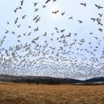 Migração de aves