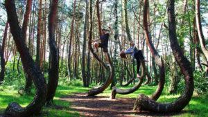 A Floresta de Árvores Tortas cercada por pinheiros