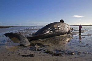 Carcaça de baleia