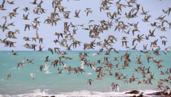 Aves Migratórias