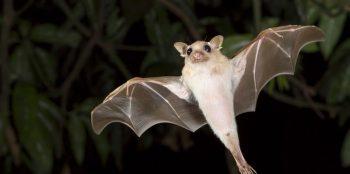 Ecolocalização do Morcego