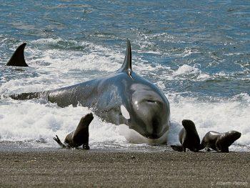 Orca caçando