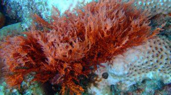 Algas Vermelhas Rhodophyta