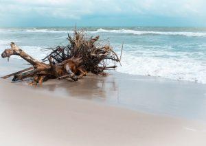 Madeira velha na praia provavelmente carregando fungos