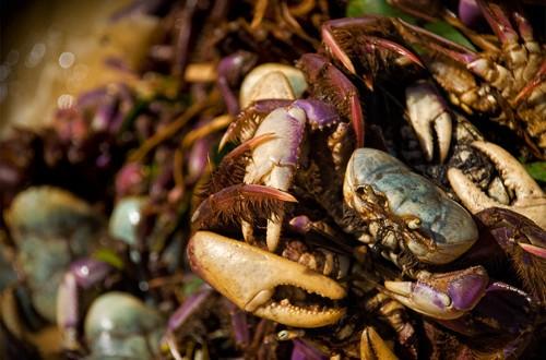 foto extração do Caranguejo-uçá - alimento para muitas famílias localizadas na zona costeira