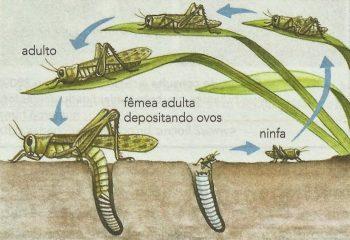 Metamorfose incompleta do gafanhoto