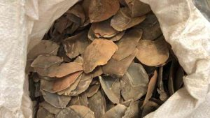 escamas de pangolim fonte olhar animal