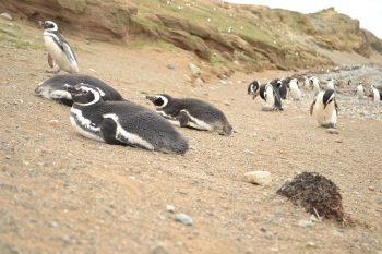 Pinguins na colonia