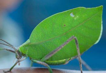inseto folha
