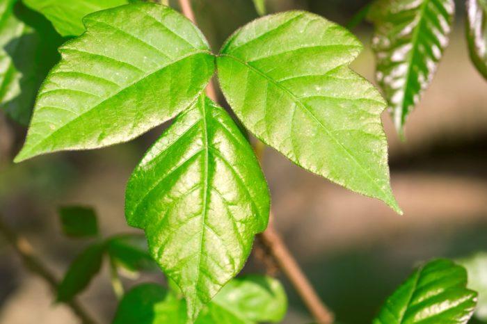 Poison Ivy Safety Talk