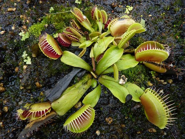 Venus Fly Trap Invasion By Obasi Adams Infographic