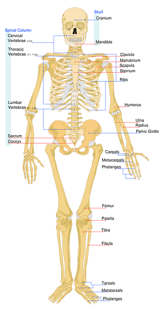 Skeletal System Infographic By Miguel Arredondo Infographic