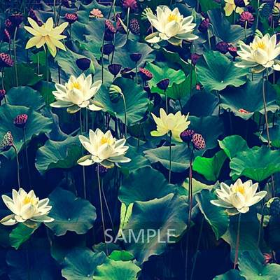 Water-lilies-pond5