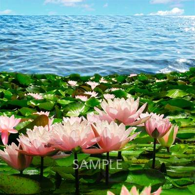 Water-lilies-pond8