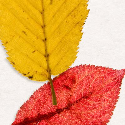 Cu_foliage06_600c