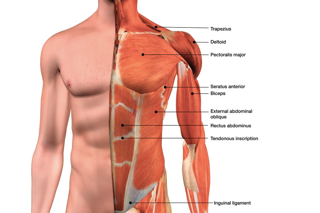 Male Chest Muscles Labeled Educational Medical Chart Inch Poster