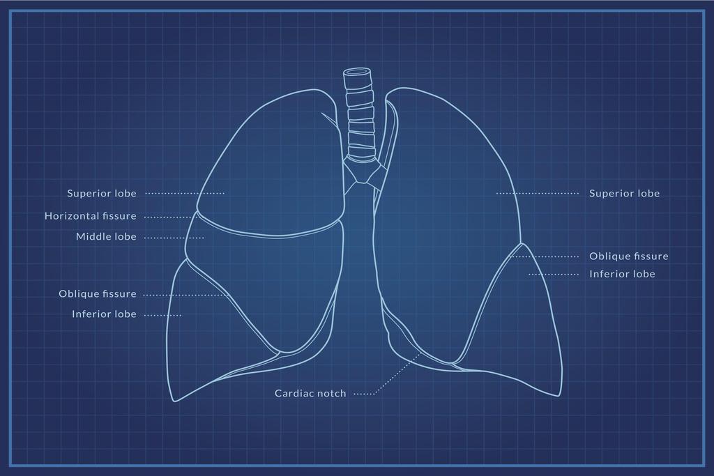 Human Lungs Diagram Blueprint Educational Chart Poster 24x36 Inch Ebay