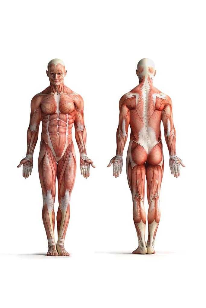 Male Human Anatomy Muscles Diagram Chart Poster 12x18 Ebay
