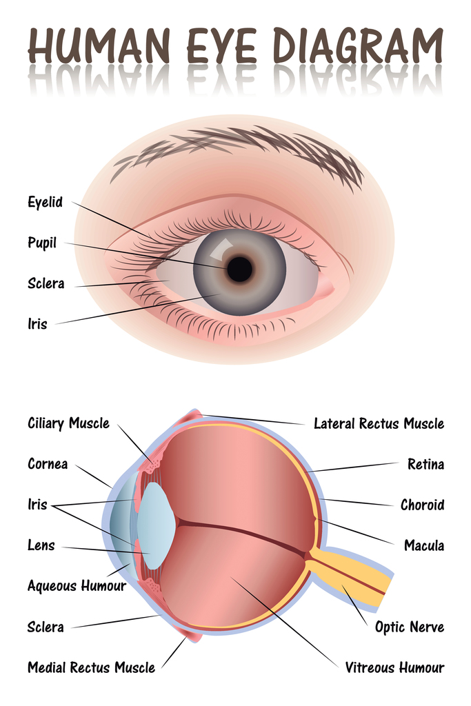 Human Eye Anatomy Medical Chart Educational Diagram Poster 12x18 | eBay