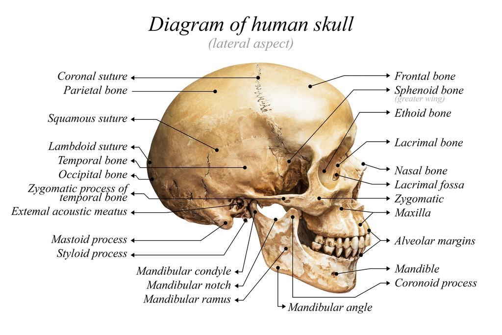 Human Skull Diagram Anatomy Educational Chart Poster 24x36 Inch Ebay