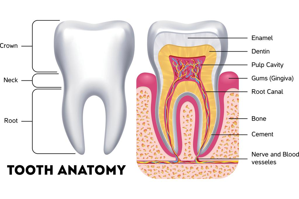 Human Tooth Anatomy Cross Section Dental Diagram Poster 24x36 Inch
