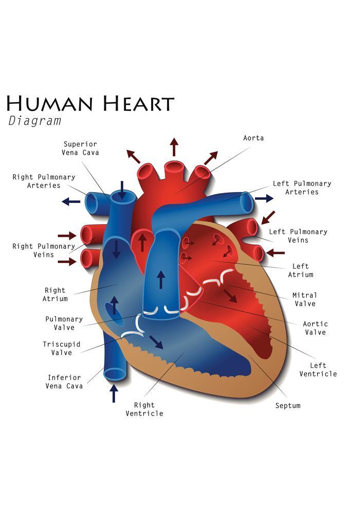 Human Heart Diagram Anatomy Diagram Educational Chart ...