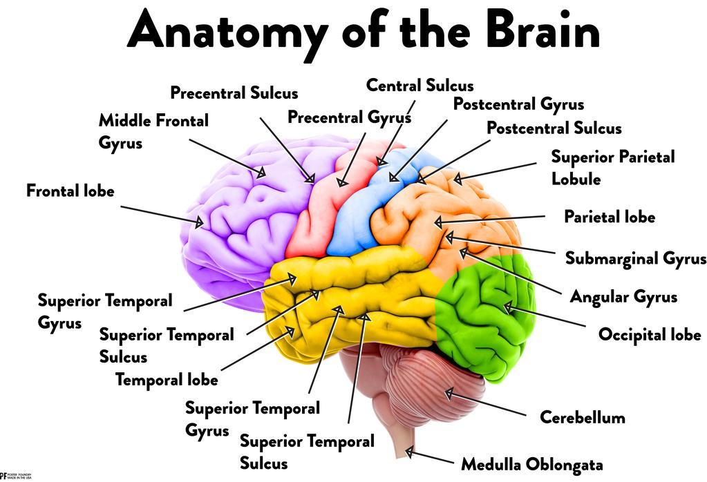 Human Brain Anatomy Regions Labeled Educational Chart ...
