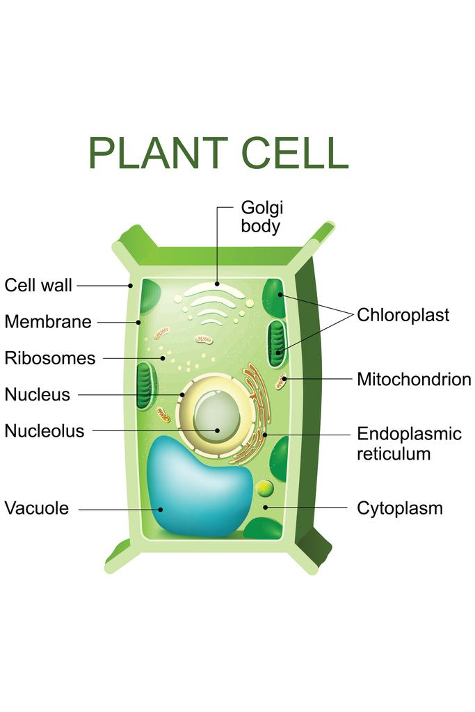 Plant Cell Anatomy Labeled Chart Diagram Mural inch Poster ...