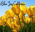 Blue Jay California