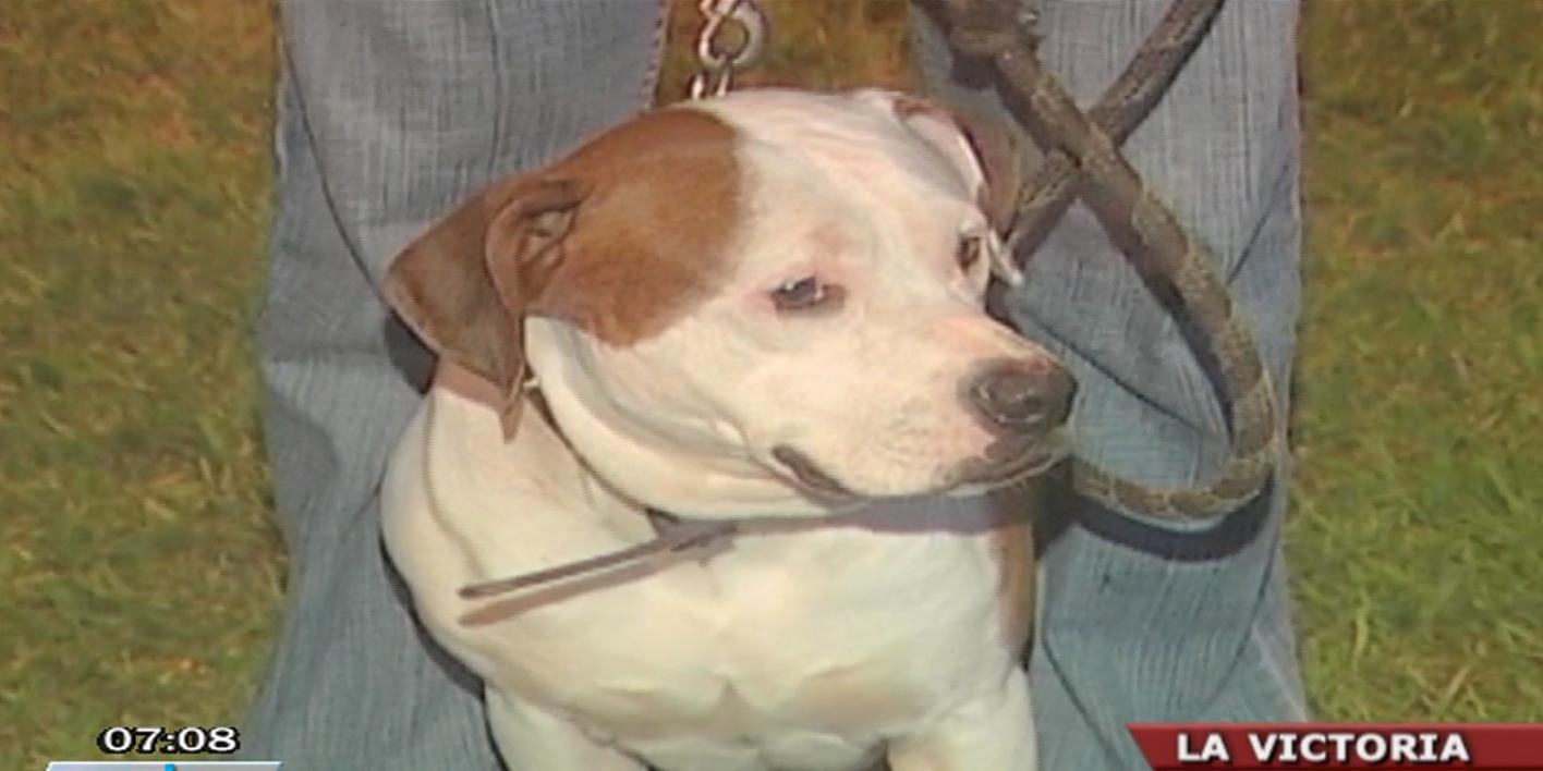 La Victoria: Dueña de pitbull amenazaría a víctimas para que no denuncien ataques