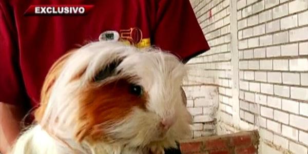 El cuy fuera del plato: los mil oficios de un animalito con corazón peruano