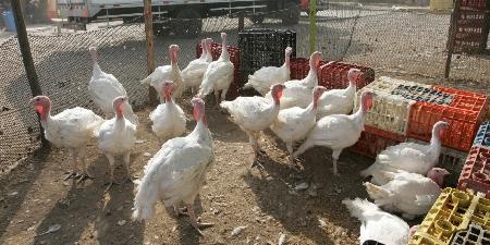 Cena navideña: Conozca el precio del pavo, pollo y lechón para esta navidad