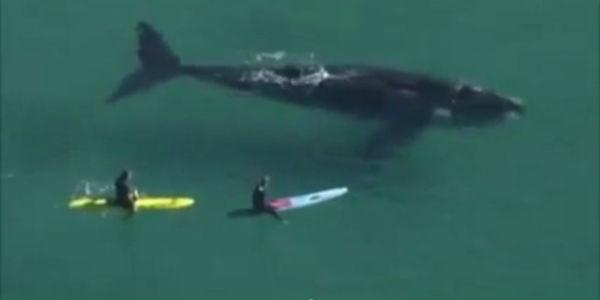 Video capta el impresionante encuentro de surfistas con ballena de 30 metros