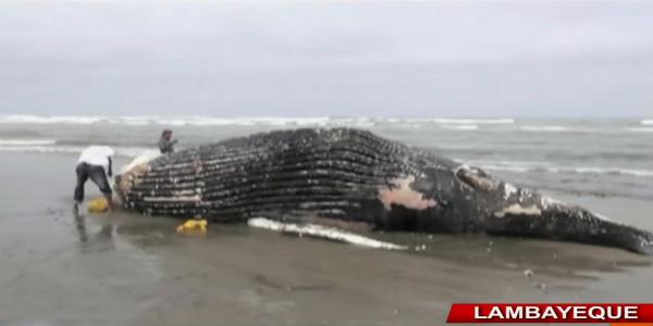 Pescadores hallan ballena jorobada que varó en playa de Pimentel