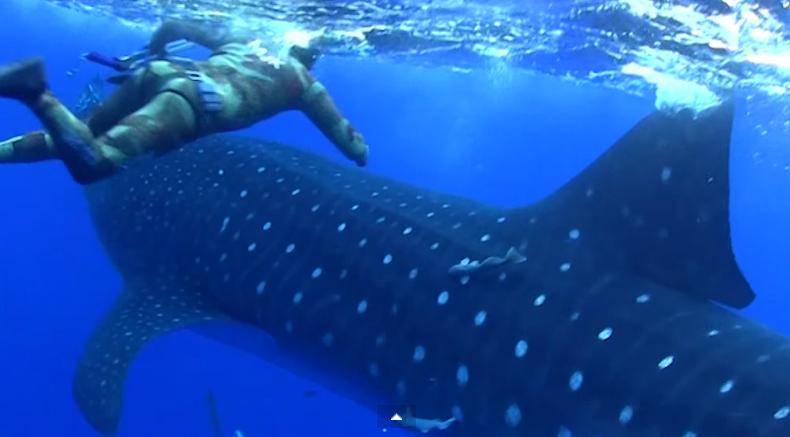 Buzo de llevó el susto de su vida al ser sorprendido por tiburón ballena