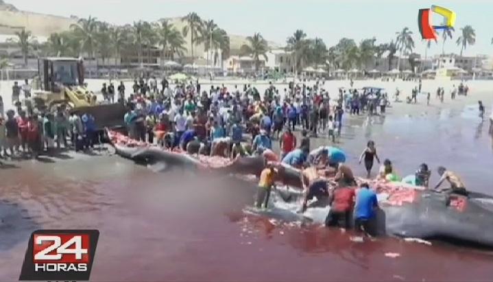 Una ballena de más de 12 toneladas quedó varada en puerto de Paita