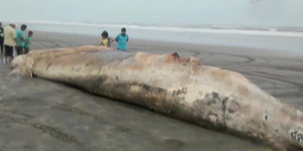 Pobladores hallaron enorme ballena muerta en playa de Lambayeque