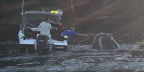 VIDEO: ballena 'pidió' ayuda a pescadores para no morir asfixiada